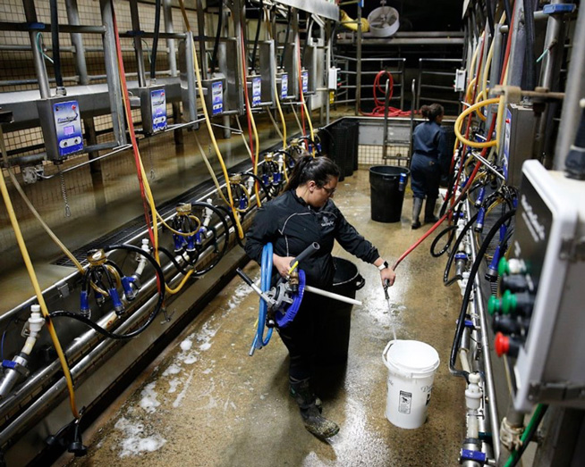 Makayla working at the Fresno State dairy unit.  Photo by Cary Edmondson
